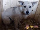FOREŚCIK-niewielki, biały, bardzo delikatny psiak szuka domu