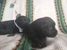 Czarne labradory Rezerwacja - 5