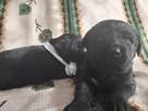Czarne labradory Rezerwacja - 3