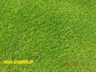 trawnik z rolki. trawnik rolowany. trawa na trawnik. - 2