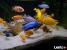 najwi.wybór ryb akwariowych i do oczka wodnego tanie akwaria - 1