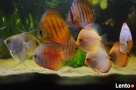 najwi.wybór ryb akwariowych i do oczka wodnego tanie akwaria - 7