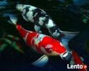 najwi.wybór ryb akwariowych i do oczka wodnego tanie akwaria - 5