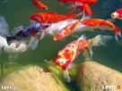 najwi.wybór ryb akwariowych i do oczka wodnego tanie akwaria - 6