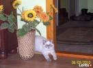 Rodowodowe kocięta EGZOTYCZNE i perskie - 7