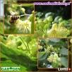 sadzonki miododajne akacja lipa klony wierzby - 3