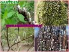 sadzonki miododajne akacja lipa klony wierzby - 6