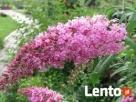 sadzonki miododajne akacja lipa klony wierzby - 1