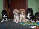Mastif tybetański szczeniaki złote i czarne podpalane FCI Chodzież