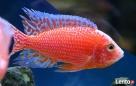 Rybki pyszczaki Aulonocara Fire Fish Dywity