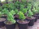 sprzedam tanio bukszpan i inne krzewy, likwidacja szkółki - 4