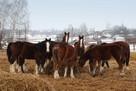 Ukraina.Konie,zwierzeta hodowlane,ogiery,klacze,rysaki 900zl