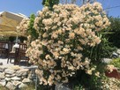 Oleander morelowy angiolo Pucci