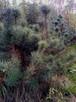 Sadzonki sosny formowanej,sadzonki jodły, sadzonki olszyny - 1