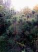 Sadzonki sosny formowanej,sadzonki jodły, sadzonki olszyny - 2