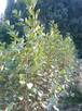 Sadzonki sosny formowanej,sadzonki jodły, sadzonki olszyny - 4