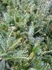 Sadzonki sosny formowanej,sadzonki jodły, sadzonki olszyny - 5