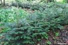 Sadzonki jodły, drzewka jodły, jodła pospolita, Abies alba - 1