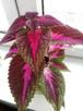Koleus kwiat do domu i ogrodu - 1