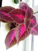 Koleus kwiat do domu i ogrodu - 2