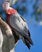 Kakadu różowe SAMICA