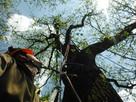 Wycinka drzew, pielęgnacja drzew, przycinka drzew, pilarz - 2