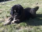 Mastif Tybetański - 5