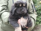 Mastif Tybetański - 3