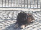 Mastif Tybetański - 6