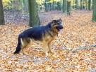 Młody Ivo, pozytywny OWCZAREK, inteligentny pies do adopcji!