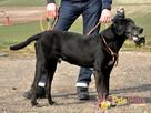 FARUŚ-super fajny psiak w typie pointera-szukamy domu, adopcj - 6