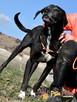 FARUŚ-super fajny psiak w typie pointera-szukamy domu, adopcj - 5