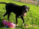 FARUŚ-super fajny psiak w typie pointera-szukamy domu, adopcj - 2
