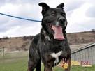 PUMEKS-wspaniały, piękny, duży dorodny pies-szukamy aktywneg - 6
