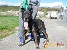 PUMEKS-wspaniały, piękny, duży dorodny pies-szukamy aktywneg - 7