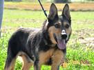 Dostojny ADMIRAŁ-wspaniały, piękny psiak w typie owczarka-ADO - 7