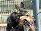 Dostojny ADMIRAŁ-wspaniały, piękny psiak w typie owczarka-ADO - 2