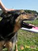 Dostojny ADMIRAŁ-wspaniały, piękny psiak w typie owczarka-ADO - 1