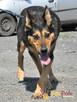 Dostojny ADMIRAŁ-wspaniały, piękny psiak w typie owczarka-ADO - 3