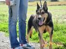 Dostojny ADMIRAŁ-wspaniały, piękny psiak w typie owczarka-ADO - 6