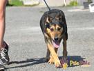 Dostojny ADMIRAŁ-wspaniały, piękny psiak w typie owczarka-ADO - 4