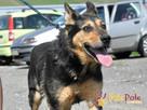 Dostojny ADMIRAŁ-wspaniały, piękny psiak w typie owczarka-ADO - 5