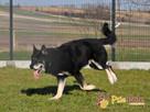 BROWAREK-wielki, wesoły, energiczny psiak o super usposobien - 2