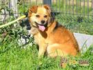 BUBUŚ-piękny mały rudy psiak-potrzebuje spokojnego opiekuna - 4