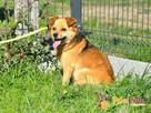 BUBUŚ-piękny mały rudy psiak-potrzebuje spokojnego opiekuna - 3