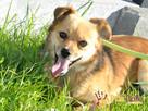 BUBUŚ-piękny mały rudy psiak-potrzebuje spokojnego opiekuna - 1