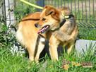 BUBUŚ-piękny mały rudy psiak-potrzebuje spokojnego opiekuna - 8