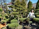 BONSAI do ogrodu ,Drzewka formowa, NIWAKI - Katowice-śląskie - 6