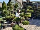 BONSAI do ogrodu ,Drzewka formowa, NIWAKI - Katowice-śląskie - 14