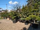 BONSAI do ogrodu ,Drzewka formowa, NIWAKI - Katowice-śląskie - 8